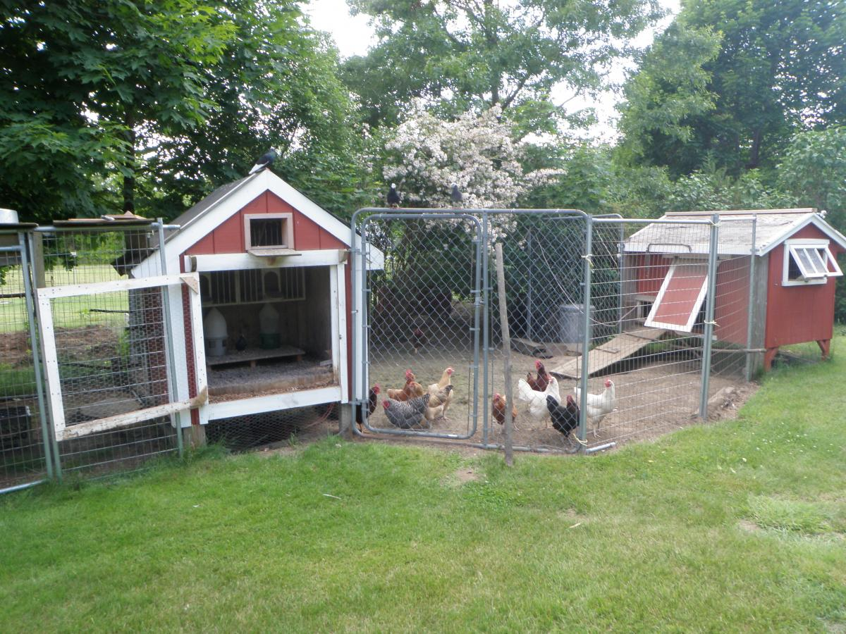 Birds and Chickens.JPG